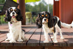 Spaniel dog portraits
